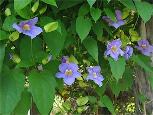 Blue skyflower (Thunbergia grandiflora)