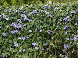 Blue skyflower (Thunbergia grandiflora)