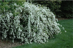 Cape May (Spirea cantoniensis)
