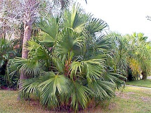 Chinese fan palm (Livistona chinensis)