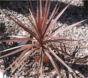"Cordyline ""red star"" (C. australis)"