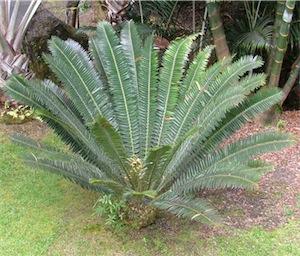 Cycad (Encephalartos transvenosus)