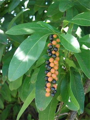 Fiddlewood (Citharexylum caudatum)