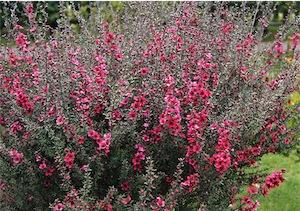 Tea bushes (Leptospermum scoparium)