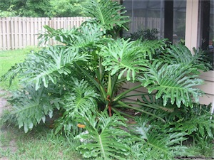 Panda Plant (Philodendron selloum)