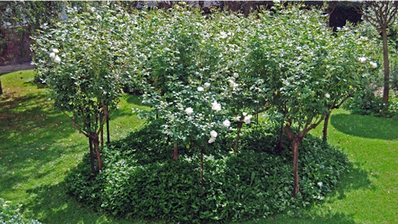 A bed of Iceberg standard roses with an Australian tufted violet groundcover filling the bed.