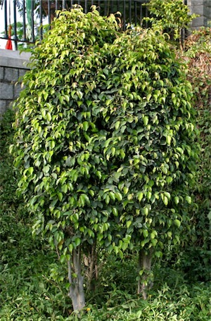 Weeping fig trees (Ficus benjamina)