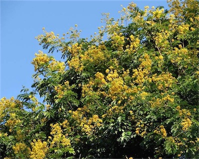 caesalpinia ferrea - Leopard Tree