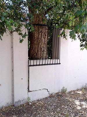 cracked wall and oak tree